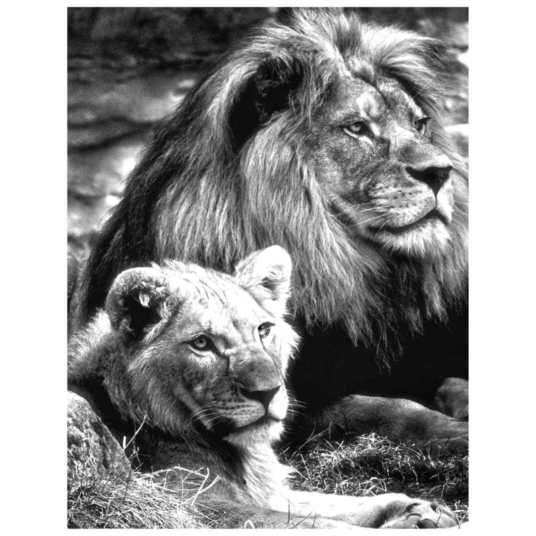 Quadro decorativo leao e leoa casal natureza