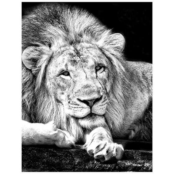 Quadro decorativo leao rei da selva preto e branco